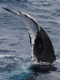 Flet de baleine de bosse Image libre de droits