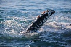 Flet encroûté par bernache d'une baleine de bosse Photos stock
