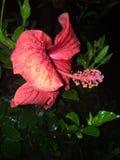 Fleur红色 库存照片