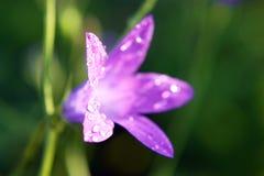 Fleur à l'aube Pluie Photos stock