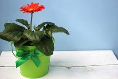 Fleur à la maison dans un pot sur un fond bleu Images stock