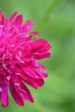 Fleur à moitié rose photo libre de droits