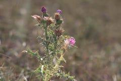 Fleur écartée une mauvaise herbe un piquant, inflorescence bleue, duvet blanc photographie stock libre de droits