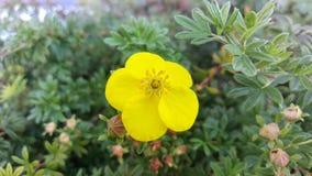 Fleur écossaise de balai - macro photo libre de droits