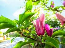 Fleur élégante étonnante de magnolia sur une branche avec des feuilles dans un environnement naturel photo stock