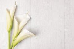 Fleur élégante de ressort, zantedeschia Photographie stock libre de droits