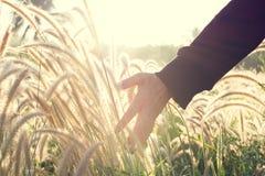 Fleur émouvante d'herbe de main humaine avec la lumière du soleil d'or dans MOR photo stock