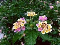 Fleur équilibrée de blanc la belle est camara de Lantana image libre de droits