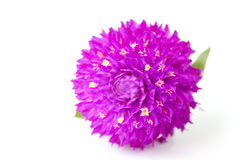Fleur éternelle Image stock