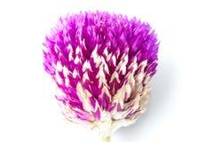 Fleur éternelle Photo libre de droits