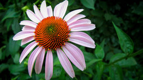Fleur éternelle Photographie stock
