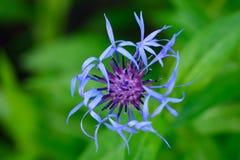 Fleur éternelle de bleuet (Centaurea Montana) d'en haut Photographie stock libre de droits