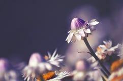 Fleur éternelle de rose et blanche indigène australienne de marguerite photo stock