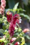 Fleur étonnante de brandegeana de Justicia en fleur Images libres de droits