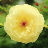 Fleur 4 étroits Photos libres de droits