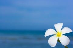 Fleur alba de Plumeria Images libres de droits