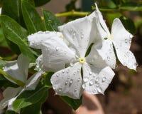 Fleur alba de roseus de Catharanthus Image stock