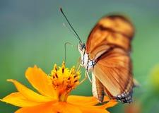 Fleur alimentante de guindineau de malachite, Costa Rica Photographie stock libre de droits