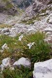 Fleur alpestre d'Edelweiss Image libre de droits