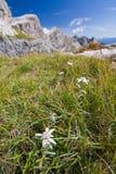 Fleur alpestre d'Edelweiss photographie stock libre de droits