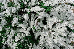 Fleur alpine de ressort de Spiraea (meadowsweet), arbuste de floraison blanc Photographie stock