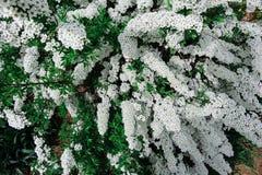 Fleur alpine de ressort de Spiraea (meadowsweet), arbuste de floraison blanc Photos libres de droits