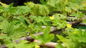 Fleur amère de jaune de vigne de feuille de courge de jade vert de nature dans le jardin botanique de Taïwan Taïpeh banque de vidéos