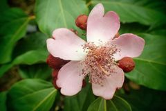 Fleur amazonienne rose Image stock