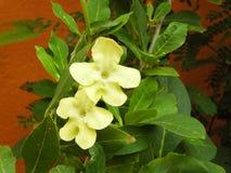 Fleur americana de Brunfelsia Images libres de droits