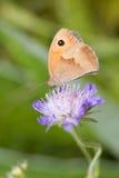 Fleur animale de macro d'insec de nature de papillon Images libres de droits