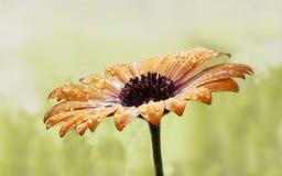 Fleur après pluie Photo stock