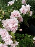 Fleur après rining Photographie stock libre de droits