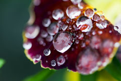 Fleur après une pluie Photos libres de droits
