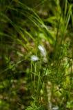 Fleur arctique d'herbe photographie stock libre de droits