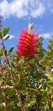 Fleur Arizona de brosse de bouteille images libres de droits