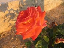 fleur assez Images libres de droits