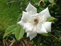 Fleur assez blanche Photo libre de droits