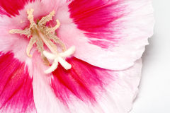 Fleur au-dessus de blanc Photographie stock