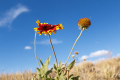 Fleur au milieu de champ sec de prairie Images stock