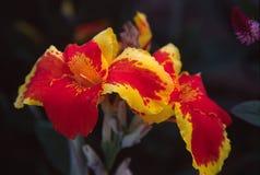 Fleur au Panama Images libres de droits