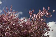 Fleur au sommet de Cherry Tree Image stock