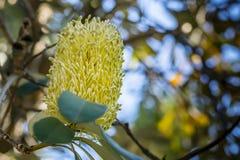 Fleur australienne jaune de Banksia sur l'arbre, plan rapproché, fond mou Images libres de droits