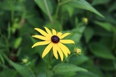 fleur aux yeux noirs de susan dans le jardin photographie stock