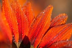 Fleur avec des baisses de rosée photographie stock libre de droits