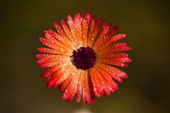 Fleur avec des baisses de rosée images libres de droits
