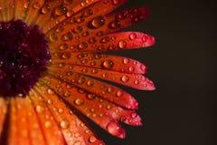 Fleur avec des baisses de rosée photos libres de droits