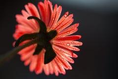 Fleur avec des baisses de rosée photo libre de droits