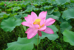 Fleur avec du charme de lotus dans l'étang Images libres de droits