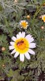Fleur avec l'abeille à l'intérieur Photographie stock