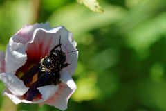 Fleur avec l'abeille Photo libre de droits